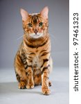 studio portrait of bengal cat... | Shutterstock . vector #97461323