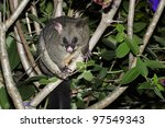 The Australian Brushtailed...