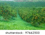 Orange Trees Plantation With...
