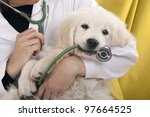 golden retriever puppy playing with a stethoscope vet - stock photo