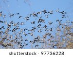 Wood Pigeons Flock - stock photo