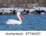 dalmatian pelican in winter ... | Shutterstock . vector #97736357