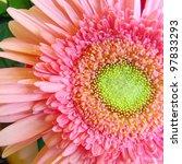 Macro Pink Gerbera Daisy 1