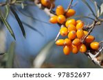 Common Sea Buckthorn - stock photo