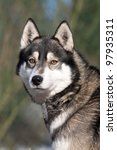 Portrait of nice Siberian Husky - stock photo