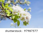 Branch Of  Pear Blossom With...
