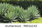 agave angustifolia   marginata  ...