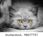 Stock photo small british kitten the age of month 98077757