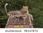 Постер, плакат: Leopard on signpost Kruger