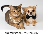 Cat and chihuahua in studio on a neutral background - stock photo