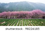 cherry blossom in valley - stock photo