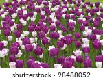 White and purple tulips - stock photo