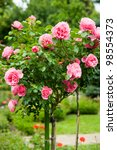 Stock photo standard pink roses in a garden 98554373