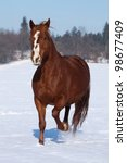 Chestnut horse galloping on a snowy meadow - stock photo