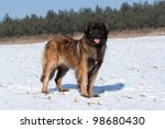 Nice female Leonberger standing on a snowy field - stock photo