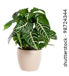 aphelandra house plant in a pot - stock photo