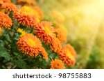 Colorful Autumnal Chrysanthemu...