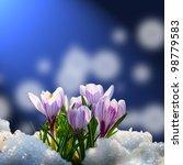 Blooming Crocuses In The Snow...
