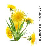 Dandelion flowers in America - stock photo