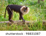 Lion Tailed Macaque Monkey In...