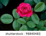 Stock photo one bright red rose flower and leaves on dark background 98840483