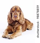 English Cocker Spaniel dog on white - stock photo