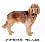 English Cocker Spaniel dog standing from side isolated on white, 1 year old male - stock photo