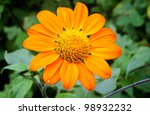 Tithonia rotundifolia flower commonly know as Mexican Sunflower - stock photo