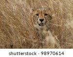 Cheetah hiding in grass, Serengeti National Park, Tanzania, East Africa - stock photo