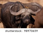 African buffalo with ox peckers, Serengeti National Park, Tanzania, East Africa - stock photo
