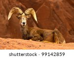 Resting Desert Big Horn Ram Sheep on Red Rocks - stock photo