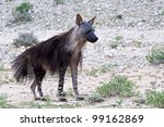 Brown Hyena - stock photo