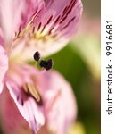 Small photo of A beautiful Peruvian Lilly (Alstroemeria aurea) with shallow depth of field