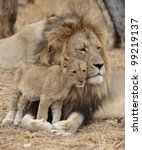 Male Lion With Cub