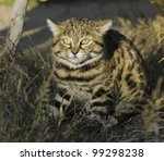 Black footed cat (Felis nigripes) - stock photo