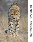 Cheetah (Acinonyx jubatus) stalking, South Africa - stock photo