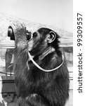 chimpanzee looking through... | Shutterstock . vector #99309557