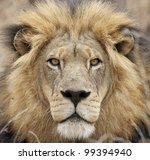 Male African Lion (Panthera leo) portrait - stock photo
