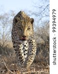 Male African Leopard (Panthera pardus) walking - stock photo