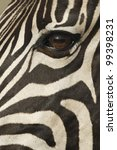 Burchells Zebra (Equus burchellii) portrait, South Africa - stock photo