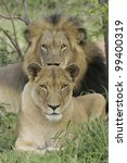 Male & Female African Lions (Panthera leo) South Africa - stock photo