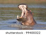 Hippo (Hippopotamus amphibius) with open mouth displaying aggression, South Africa - stock photo