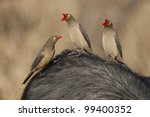 Red Billed Ox Peckers (Buphagus erythrorhynchus), South Africa - stock photo