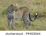 African Leopard (Panthera pardus) in Kenya's Masai Mara - stock photo