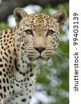 African Leopard Portrait (Panthera pardus), South Africa - stock photo