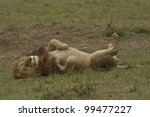Funny Lion Resting After Mating