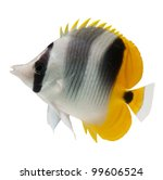 marine fish, butterflyfish reef fish on white background - stock photo
