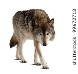 Wolf. Isolated Over White...