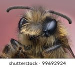 Wide eyed miner bee - stock photo