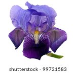 Purple Iris Flower Aka Flag  ...